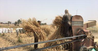 تقرير: ارتفاع حصاد القمح لـ 2.374 مليون فدان  وجارى التوريد لـلسلع التموينية