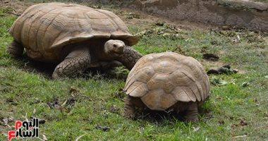 غلق بيت الزواحف بحديقة حيوان الجيزة لتزواج ذكر سلحفاة معمر