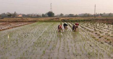 شاهد.. كيف نجحت تجارب زراعة الأرز الموفر للمياه وخطة لتعميم زراعته بمصر؟