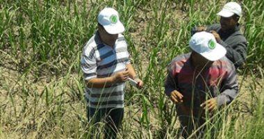 الزراعة: حملة لحماية المحصول الصيفى من الفئران بالمحافظات