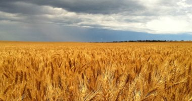 متعاملون: الأردن يشترى 60 ألف طن من القمح الصلد فى مناقصة