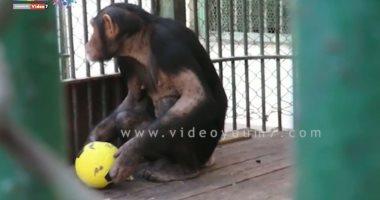 الشمبانزى جوليا