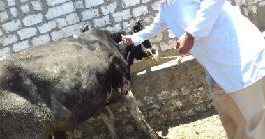 تحصين 121 ألف رأس ماشية فى أول يوم للحملة القومية ضد الحمى القلاعية
