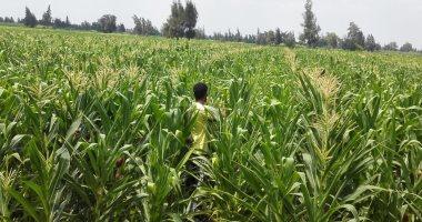 الخدمات الزراعية : لجان لحصر مساحات الذرة وصرف الأسمدة الصيفية للمحصول