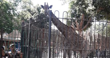 مفاوضات مع جنوب إفريقيا لاستيراد 3 زرافات لحديقتى حيوان الجيزة والإسكندرية