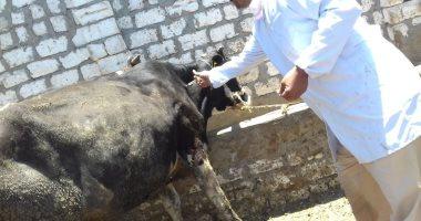تحصين 217 ألف رؤوس ماشية ضد الجلد العقدي ببني سويف