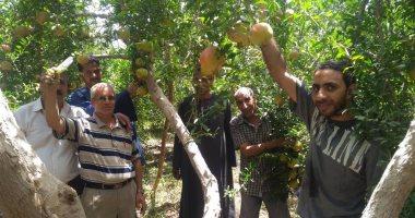 """""""الزراعة"""" تضع روشتة لطرق رى وتسميد أشجار الرمان لزيادة الإنتاج.. تعرف عليها"""