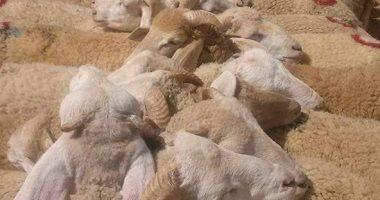 الزراعة تبدأ حملاتها على شوادر بيع الأضاحى للتأكد من سلامتها
