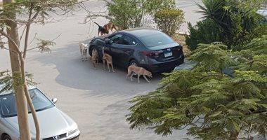 قارئه تشكو من انتشار ومهاجمة الكلاب الضالة بمساكن شيراتون