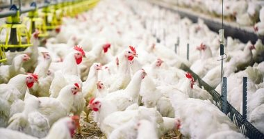 """""""الخدمات البيطرية"""": تحصين مليون طائر بمزارع الدواجن ضد انفلونزا الطيور"""