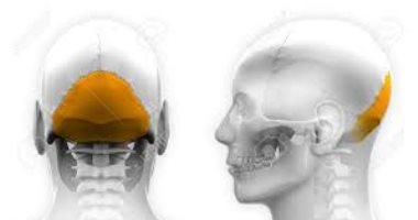 اعرف جسمك القذالى عظمة توجد فى الجمجمة تشبه صحن الفنجان