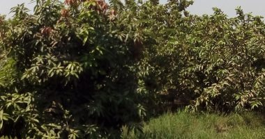 نقيب الزراعيين: 15 مليون شجرة فى الشوارع تستهلك مليار متر مكعب مياه سنويا
