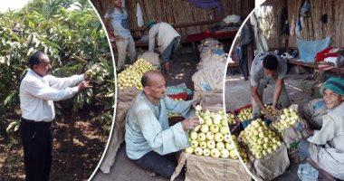حملة قومية للنهوض بمحصول الجوافة فى مصر