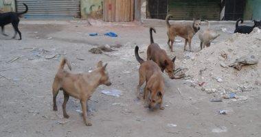 الكلاب الضالة تهدد المواطنين بمنطقة البيطاش فى الإسكندرية