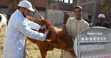 بيطرى الوادى الجديد: تحصين 30 ألف رأس ماشية ضد الحمى القلاعية -