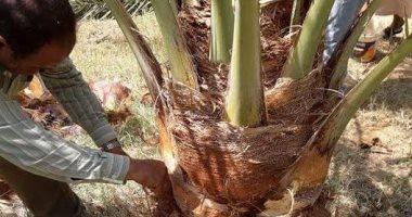 قطاع الزراعة بالوادى الجديد ينفذ حملة لمكافحة سوسة النخيل بمنطقة الخارجة