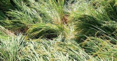 مزراع يتهم جارة بإتلاف محصول الأرز بمياه الصرف الصحى فى الشرقية