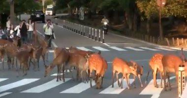 فيديو الغزلان فى شوراع اليابان للترفيه عن السياح