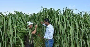 صور.. مركز بحوث الصحراء ينجح فى تجربة لزراعة نبات علفى لأول مرة بمطروح