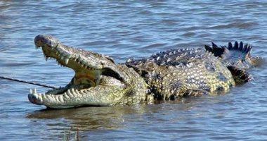 نقيب الزراعيين: بحيرة ناصر بها 42 ألف تمساح.. ولا يسمح بإقامة مزارع بها
