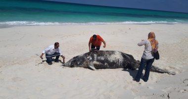 البيئة: نفوق سمكة قرش الحوت بساحل مدينة السويس غير متعمد
