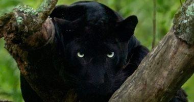 ميثون إتش.. مصور هندى احترف تصوير النمور