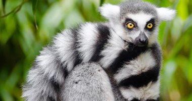 نظرة حيوان الليمور فى مستقبل فصيلته المهددة بالانقراض