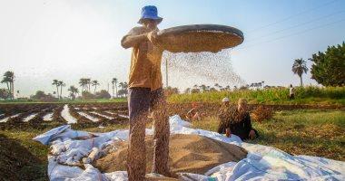 الزراعة: نشر أصناف عالية الإنتاج لمحصول السمسم الصيفى لزيادة المساحات والإنتاج