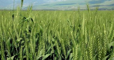 زراعة الغربية توفر تقاوى المحاصيل الشتوية استعدادا لموسم فصل الشتاء