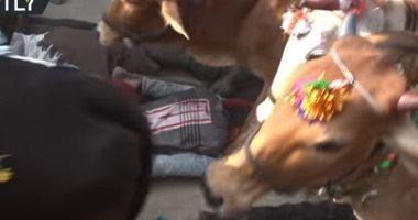 فيديو مثير للجدل.. الأبقار تدهس الهندوس لتطهرهم من الذنوب