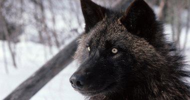 ظهور نادر للذئب الأسود فى الصين
