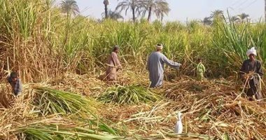 للحد من الاستيراد.. 8 إجراءات لزيادة إنتاج المحاصيل السكرية تعرف عليها