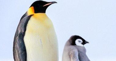 نصف طيور البطريق قد تموت خلال 80 سنة إذا استمر ذوبان القطب الجنوبى