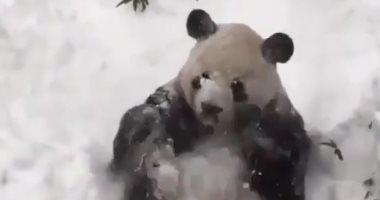 """""""شكله بيحتفل بالسنة الجديدة"""".. دب الباندا يستمتع بالثلوج× 3 فيديوهات"""