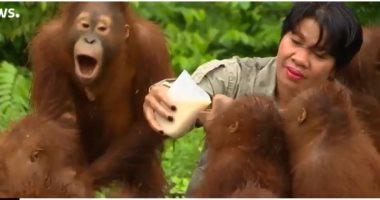 شاهد محمية بورنيو حيث يعلم البشر صغار القردة طريقة العيش فى الأدغال