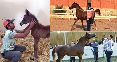 تجهيز وإصدار شهادات صحية لدفعة جديدة من الخيول المصرية لتصديرها إلى أوروبا
