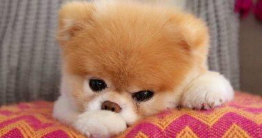 صور.. درس فى الوفاء.. رحيل كلب بعد اكتئابه حزنا على وفاة صاحبه