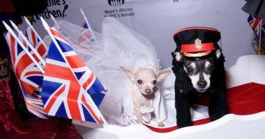 فى أسبوع الموضة بنيويورك ..كلاب تمثل مشهد حفل زفاف الأمير هارى وميجان ماركل
