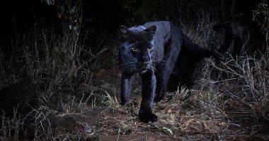 """""""محدش صوره من 100 سنة"""".. مصور يحقق حلمه بتصوير النمر الأسود فى كينيا"""