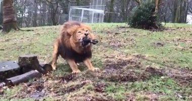 صور.. تحدى شد الحبل بين أطفال أمام أسود ونمور فى حديقة حيوان بريطانية