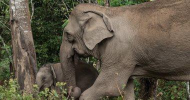 """بعد 43 سنة من الاكتئاب.. وفاة الفيل """"فلافيا"""" الأكثر حزنا بالعالم.. صور"""