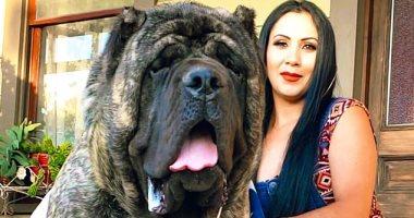 وزنه 96 كجم.. مربى كلاب يدعى إحياء سلالة عملاقة من 5 آلاف سنة.. صور