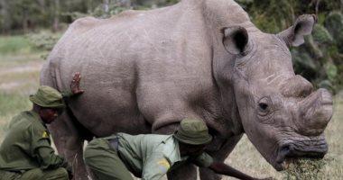 فى الذكرى الأولى لرحيله.. سودان آخر ذكر من سلالة وحيد القرن الأبيض.. فيديو