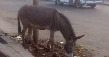 قارئ يشكو ربط الحيوانات بأعمدة الإنارة وانتشار القمامة بموقف عبود