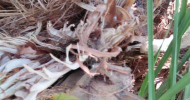 """""""الآفات الزراعية"""": معالجة 35147 نخلة من السوسة الحمراء ..وحملات لمكافحتها"""