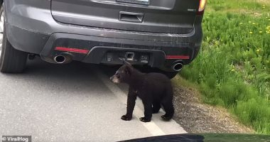 عاملين قلق فى الشارع..دببة تعبر الطريق وتوقف حركة المرور بألاسكا ..فيديو