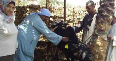 """صور.. """"الزراعة"""" تواصل تحصين الأبقار ضد الجلد العقدى.. وتناشد المربين الاستجابة"""