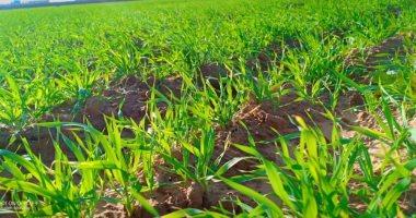 صور.. الأمطار تحول صحراء مطروح إلى جنة خضراء.. مركز التنمية المستدامة: التوسع فى زراعة القمح والشعير لأكثر من 200 ألف فدان على الأمطار.. وارتفاع معدل السقوط المطرى لـ155 مم