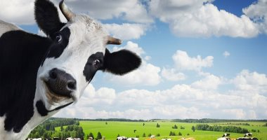 واللبن ده يروح فين؟!.. زيادة أعداد الأبقار وانخفاض مستهلكى الألبان بالبرتغال