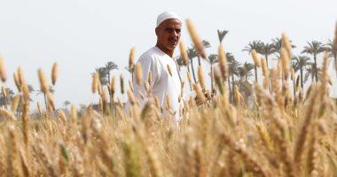 القمح الليلة يوم عيده.. حصاد سنابل الذهب الأصفر